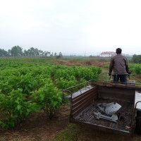 Tending to the mulberry fields